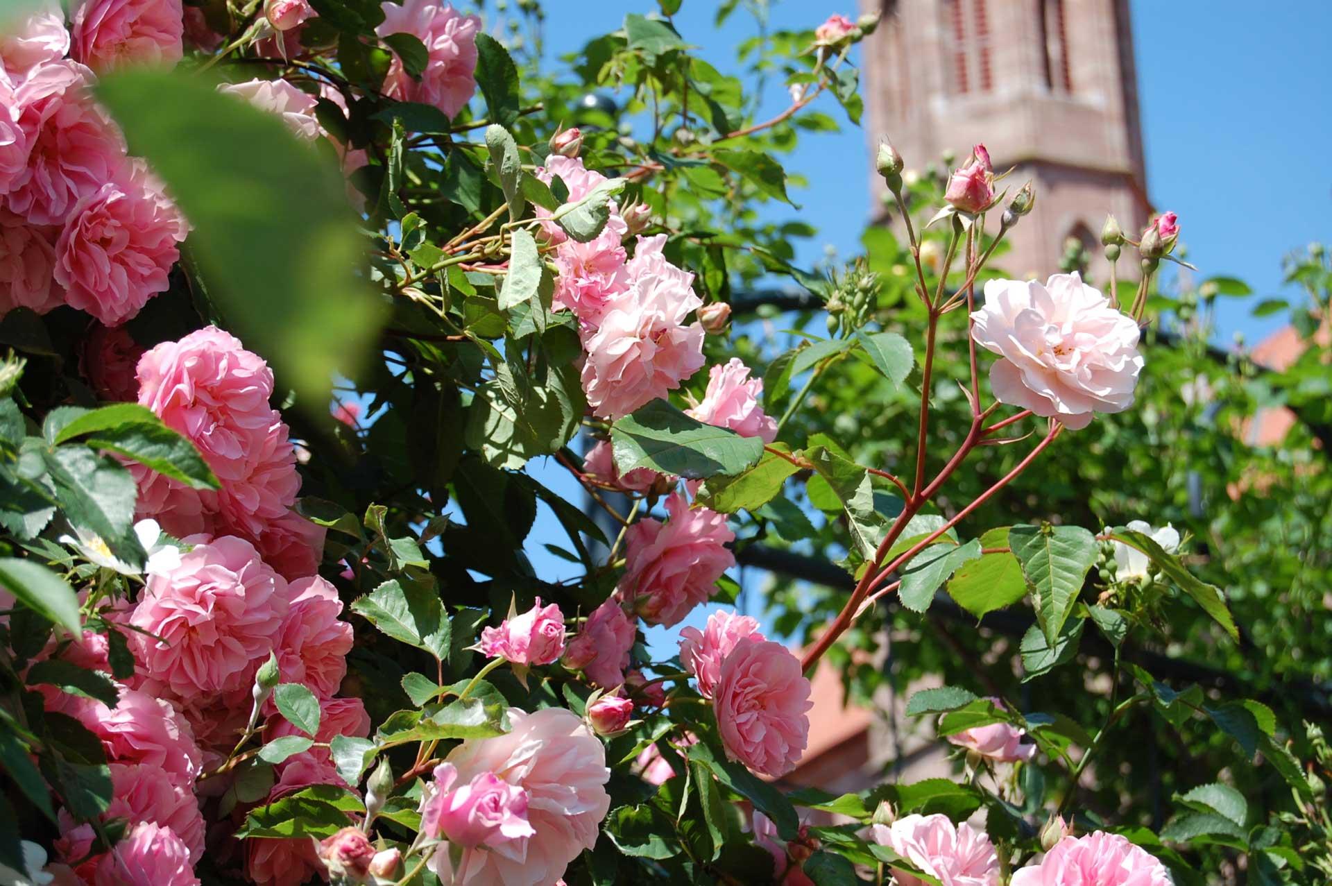 Rosenfest im Garten am Literaturmuseum